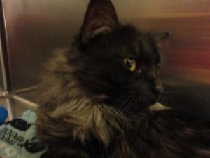 Silvertone is an adoptable Domestic Long Hair Cat in Carthage, MO. ****Silvertone is being offered through the Carthage Humane Society - if you would like more information about him or you are interes...
