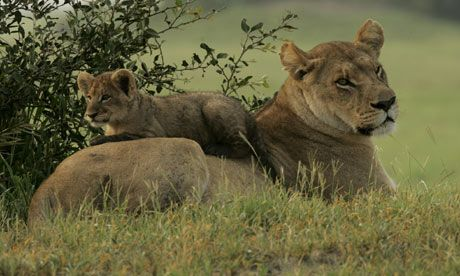 Female African lion resting with her cub, Okavango Delta, Botswana. Photograph: Beverly Joubert/NGS/Getty Images