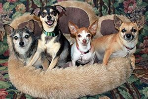 Four small dogs standing in a paw shaped dog bed. ......Read On about states that have enacted pet trust laws.