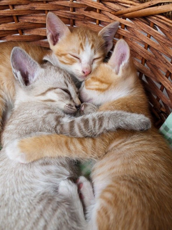 470 best animals hugging cuddling images on pinterest The three cats