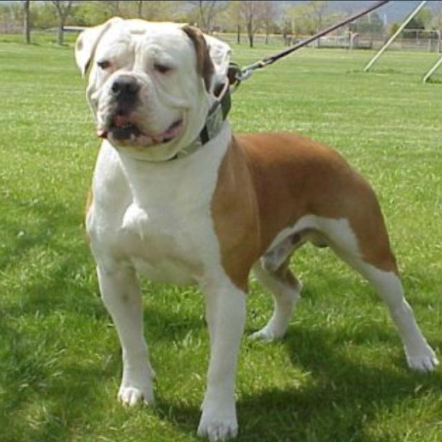 American bulldog Johnson type pets Pinterest