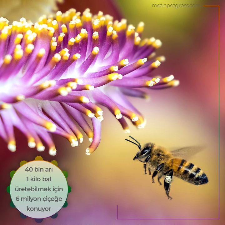 Doğal ortamlarında yaşayan 40 bin arı 1 kilo bal üretebilmek için yaklaşık 6 milyon çiçeğe konuyor.    #arı #bee #bal #honey #animallover #animal #instagood #hayvansevgisi #instalike #prilaga #Turkey #ilginçbilgiler #doğa #nature