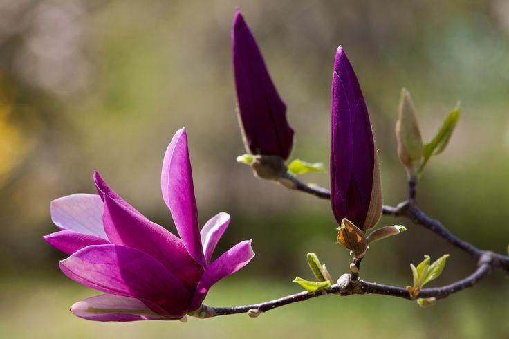 Paarse magnolia