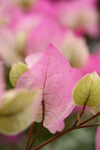 Bougainvillea...They remind me on resting butterflies...:)