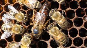 Σπάνια Μέλισσα: Αλλαγή ΒΑΣΙΛΙΣΣΩΝ κάθε χρόνο