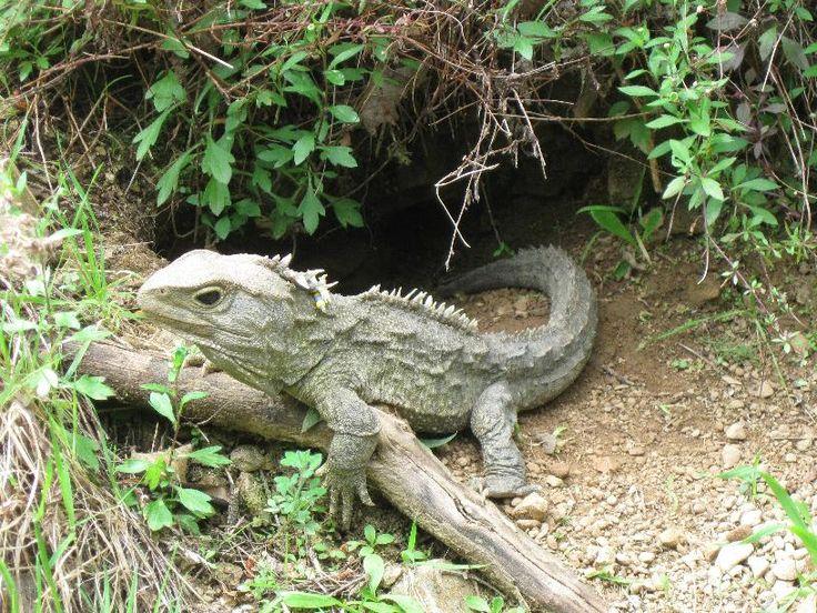 Tuatara | This Living Fossil, Named Tuatara, Has A Third Eye!