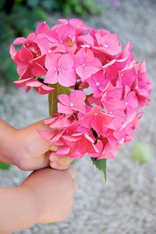 A lovely hydrangea bloom