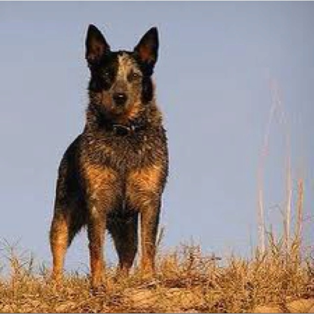 1000+ images about BoRDeR CoLLieS and AusTRaLian CaTTLe DoGS