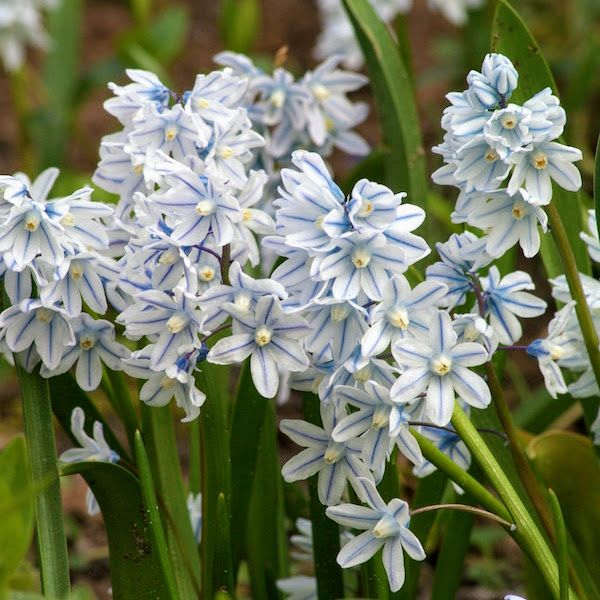 Some of the flowers in this garden include this pretty puschkinia. Closely related to Chionodoxa and Scilla, the Striped Squill is a deer- and rodent-resistant naturalizer named after Russian botanist Count Apollos Apollosvich Mussin-Puschkin. Puschkinia is best grown in moist, fertile, well-draining soil in full sun to partial sunlight. (Photo by Colorblends)