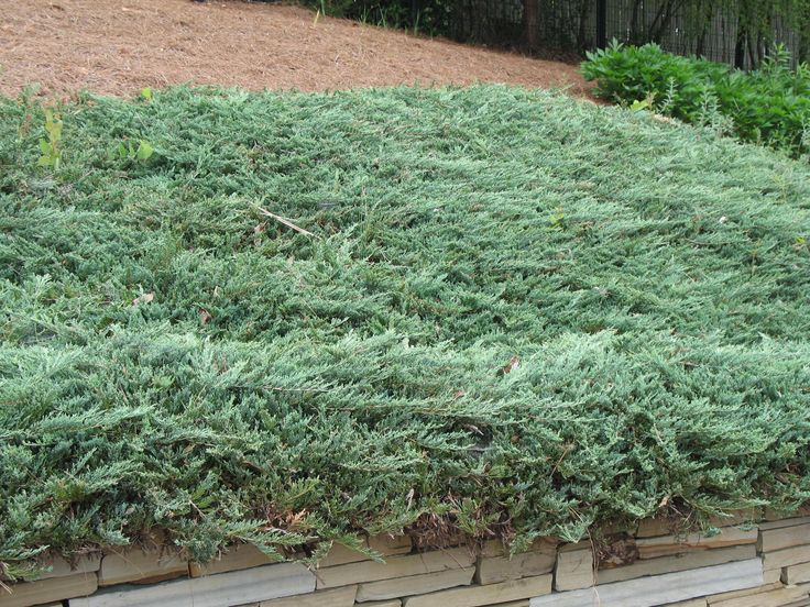 Creeping Juniper Ground Cover Good For Slopes