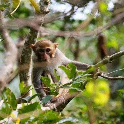 Wild Rhesus Macaques in the Yalongling Forest. Having saved from extinction in 2008, there are now over 80 in Sanya!