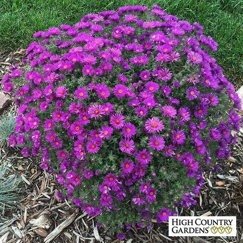 Purple Dome' is a New England type aster that blooms in early fall with hundreds of deep lavender-purple flowers. This dwarf plant has a neat mounding habit and is a perfect choice to edge pathways and fill  small spaces.
