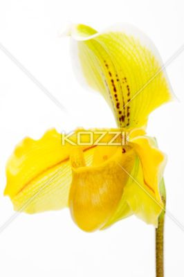 Single Yellow Orchid - One bright yellow orchid facing an angle with brown spots and lines and light green veins.