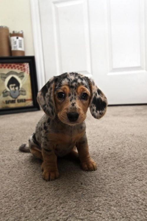 it's so littleeeeSpots, Weenie Dogs, Little Puppies, Cutest Dogs, Dachshund Puppies, Dapple Dachshund, Cutest Puppies, Wiener Dogs, Animal
