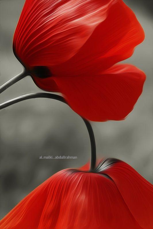 ~~Flower lovers • red poppies by almalki abdullrahman~~