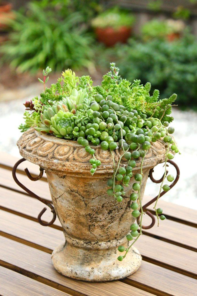 French Country: a collection of succulents in a small urn planter