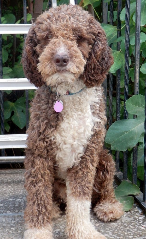 Chucky - my spanish water dog.