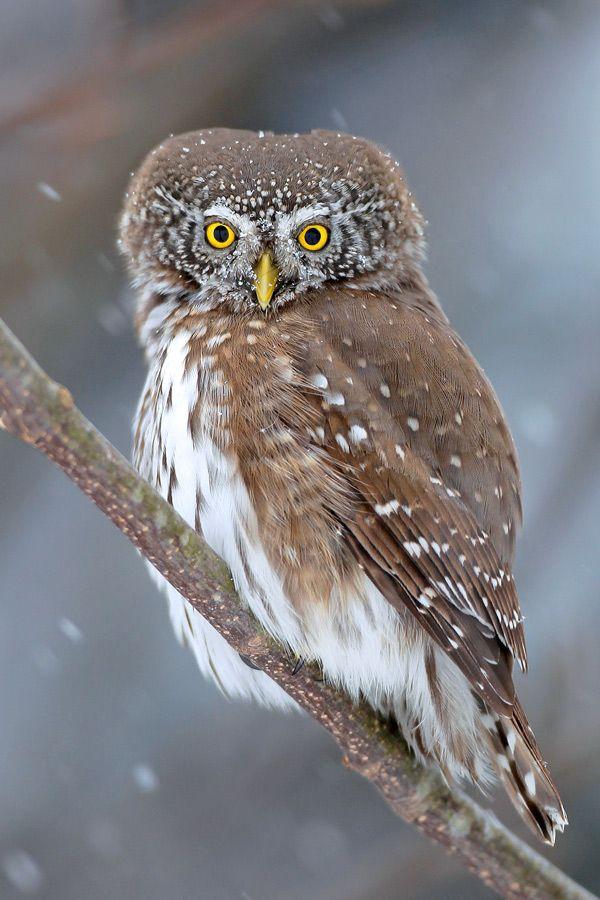 Eurasian Pygmy Owl (Glaucidium passerinum)