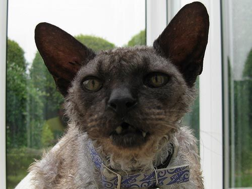 22 Best The Ugliest Cats Images On Pinterest Hairless