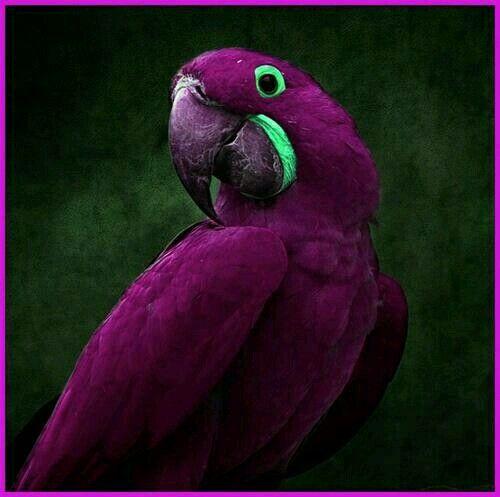 pin blue macaw bird - photo #34