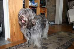 My Schapendoes Dog Rover (2)