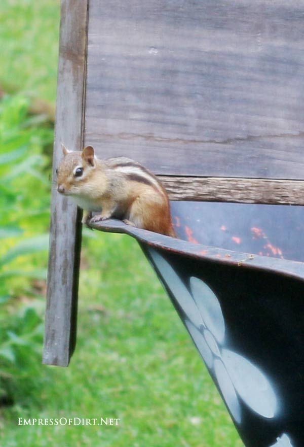 Chipmunk standing on a newly made DIY wheelbarrow garden trug.