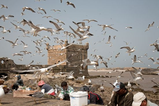 Fisherman on the sea wall watched by seagulls Essaouira with the fort in the background.