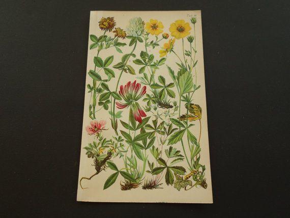 1913 old botanical print lovely antique floral illustration