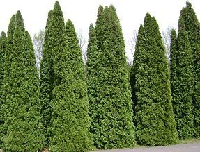 """Thuja occidentalis - White Cedar is a tree with important uses in traditional Ojibwe culture. Honoured with the name Nookomis Giizhik (""""Grandmother Cedar""""), the ..."""