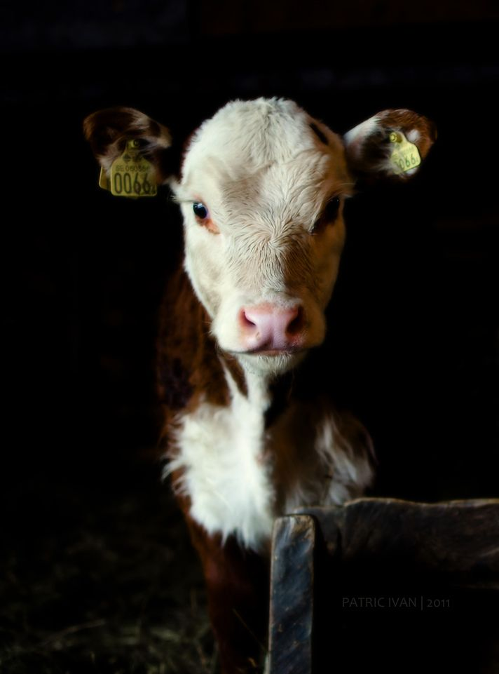 farm animals.The price to feed livestock is almost unbearable for some farmers. Corn is becoming a gold commodity and the price is hurting the bottom line for those supplying poultry to the U.S. food supply.