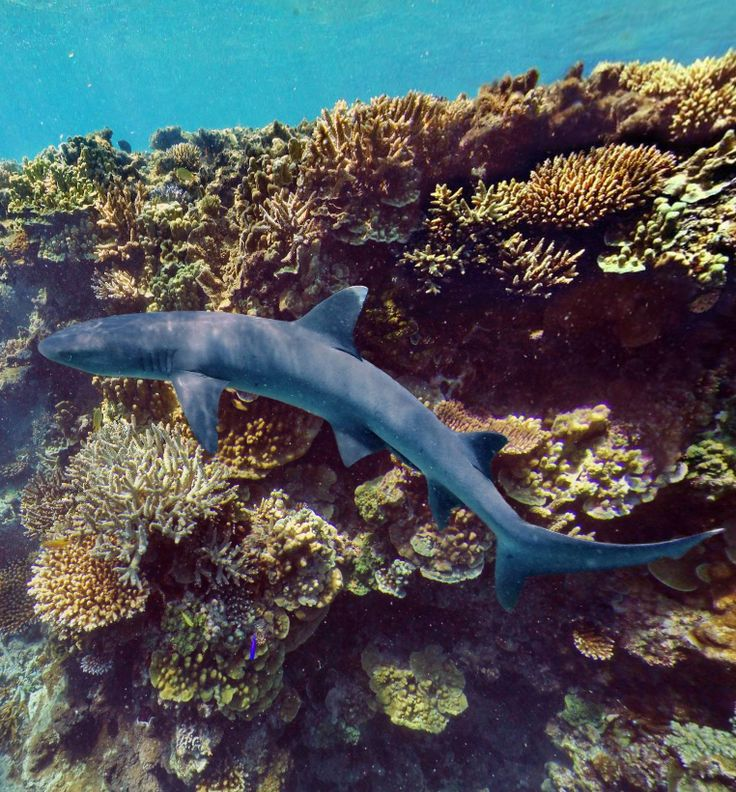 White Tip Shark Ilot Mato South Reef New Caledonia by Richard Chesher https://www.360cities.net/image/shark-new-caledonia#330.58,31.26,88.0