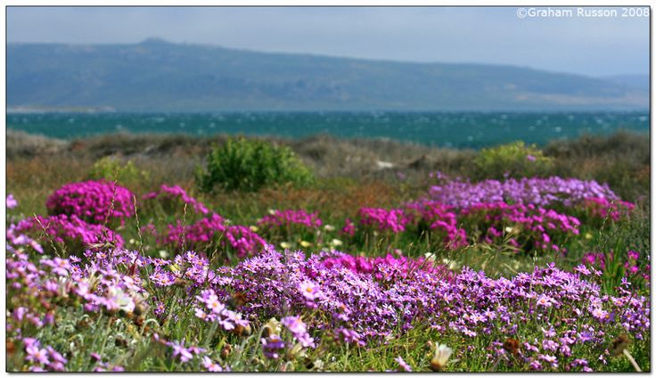Between mid-August and mid-September Namaqualand erupts into a wonderland of floral magic