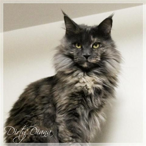 Maine Coon, blue torti solid (g). Nayeli Dirty Diana