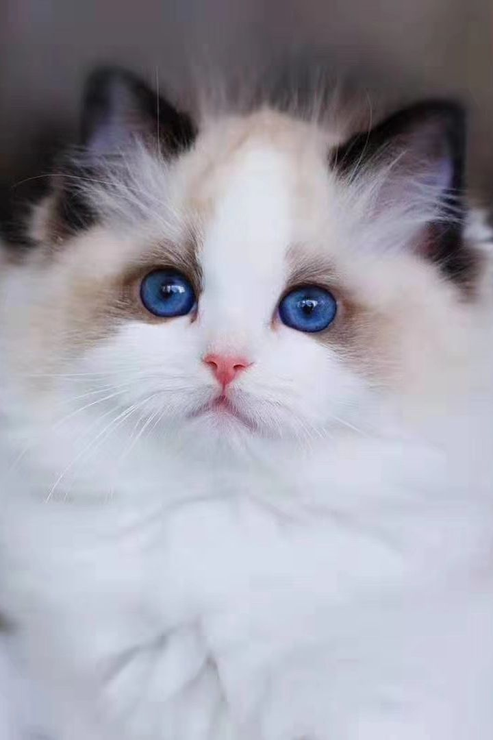 20 New For Ragdoll Cats And Kittens For Sale In 2020 Ragdoll