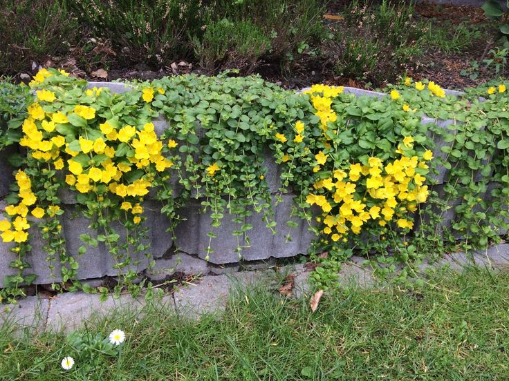 June 16 creeping jenny. Grows like crazy and needs to be held under control