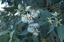 Eucalyptus robusta, commonly known as swamp mahogany or swamp messmate, is a tree native to eastern Australia.