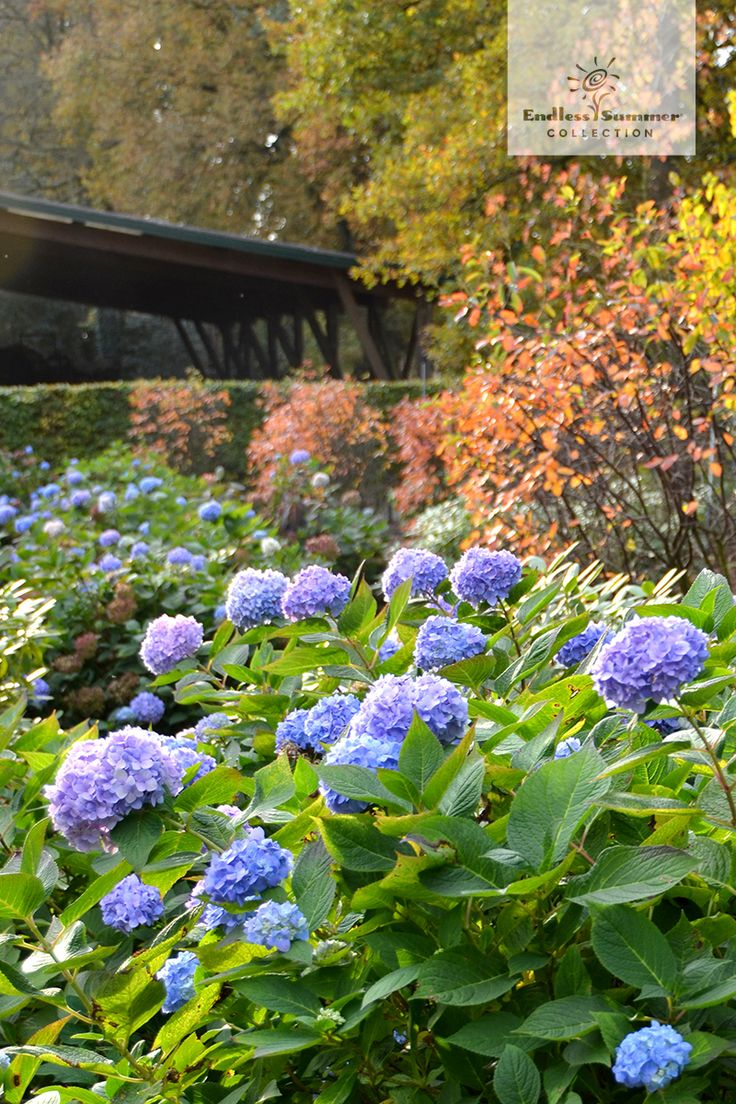 32 best hydrangea gardens images on pinterest hydrangeas. Black Bedroom Furniture Sets. Home Design Ideas