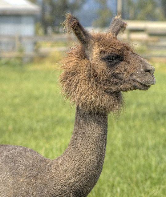 A Shaved Llama