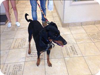 Dallas, TX - Doberman Pinscher Mix. Meet Leo, a dog for adoption. http://www.adoptapet.com/pet/16150719-dallas-texas-doberman-pinscher-mix