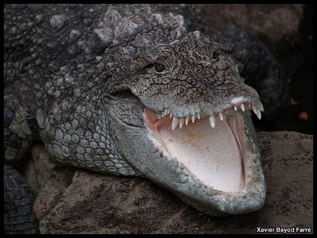 Mugger croc ---  also called the Indian, Indus, Persian, Sindhu, marsh crocodile or simply mugger