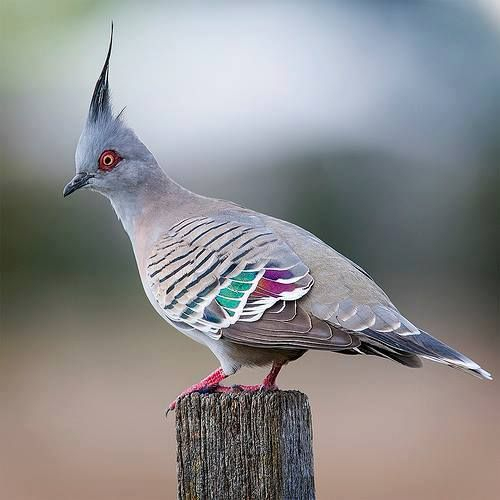 23517565_1515498885212894_7882465001711581036_n.jpg (500×500)Crested Pigeon (Ocyphaps lophotes) in Australia photo by Chris Burns