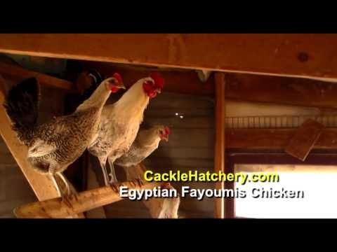 Egyptian Fayoumis - Day Old Chicks (Fowl) | Cackle Hatchery