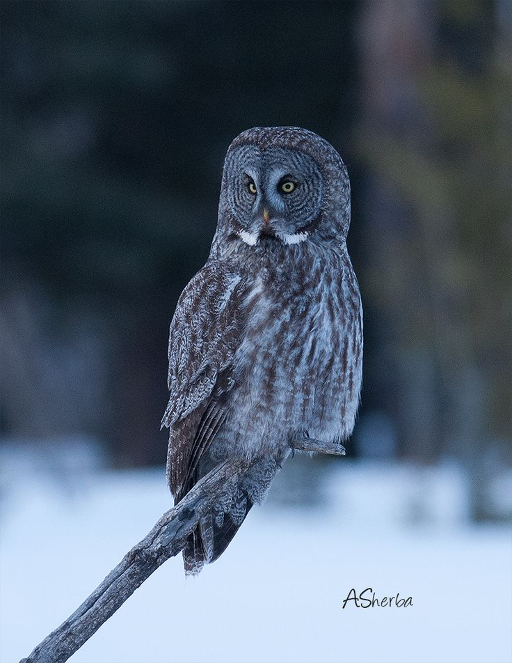 Great Gray Owl visitor to yard