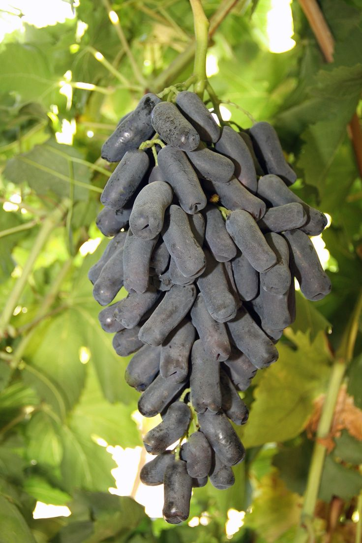 Moon Drop grapes on the vine. You may have also seen a related varietal called Witch Fingers.