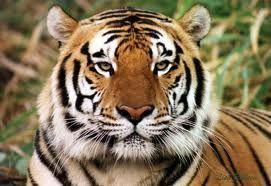 de tijger is een bedreigde diersoort omdat hij een hele mooie vacht heeft. hij staat ook op nummer 2 van de top 10 bedreigde diersoort. hij kan wel 25 jaar worden en hij weegt 100 tot 300 kilo.