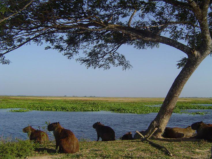 https://flic.kr/p/79pfrv | Capybara family in Hato El Cedral by b4yoli |Edo. Apure, Venezuela