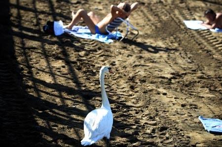 Cisne en la playa.