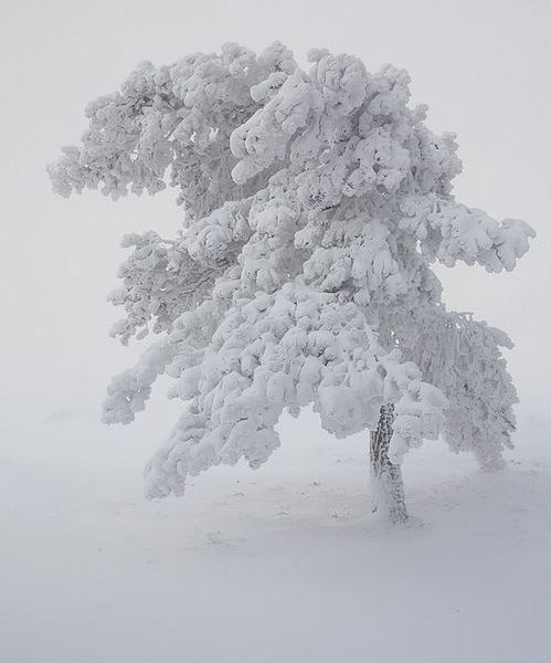 Snow Covered Tree - Beautiful | Full Dose