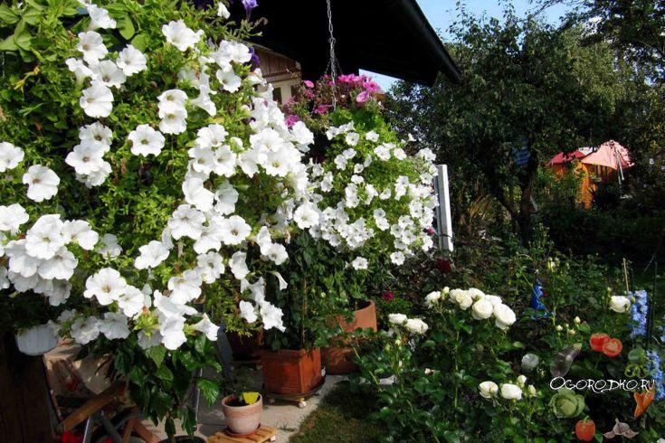 Петуния, посадка и уход – узнайте все тонкости и хитрости, чтобы вырастить шикарные цветы. Ни в коем случае нельзя при посеве…