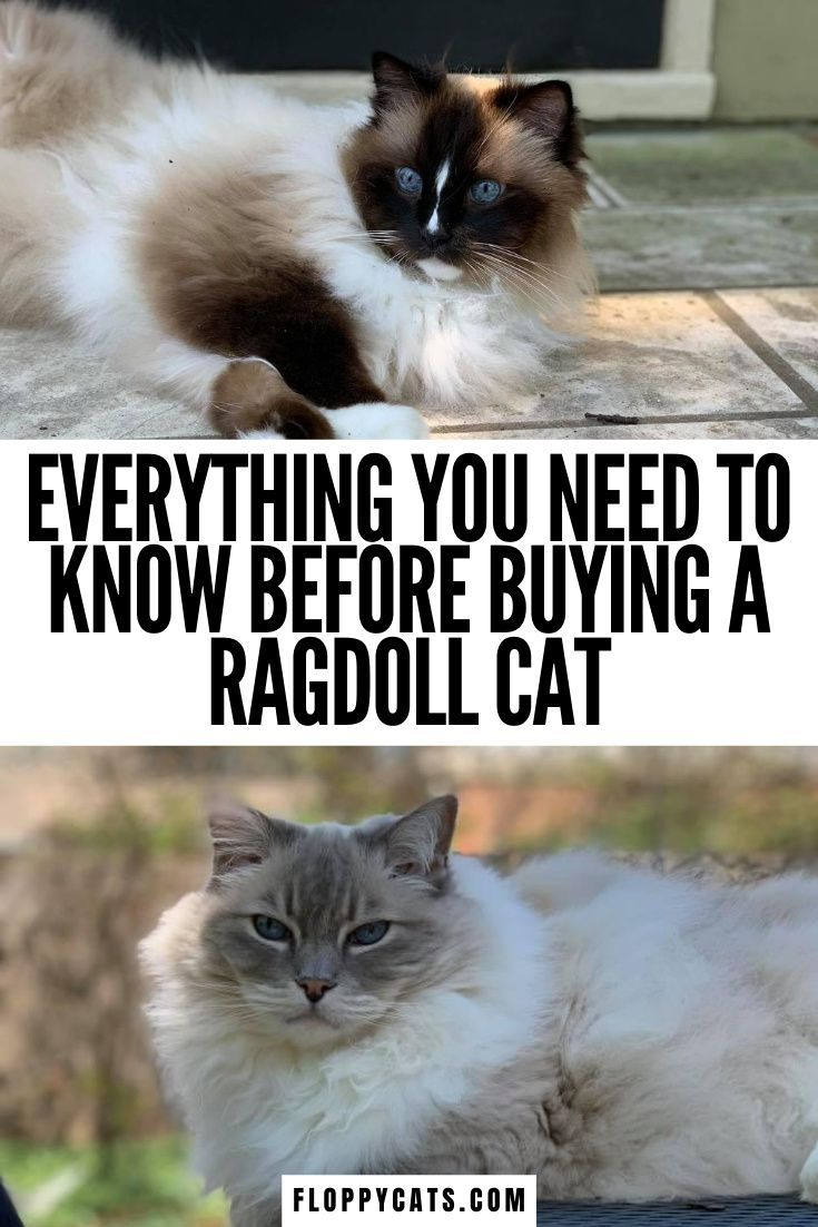 What To Know When Buying A Ragdoll Cat How To Buy A Ragdoll Cat In 2020 Ragdoll Cat Ragdoll Cat Breeders Cat Parenting